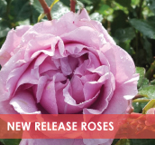 roses-categories-new-release-v2.jpg